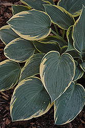First Frost Hosta (Hosta 'First Frost') at Meadow Acres Garden Centre