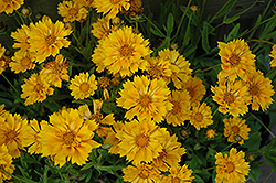 Jethro Tull Tickseed (Coreopsis 'Jethro Tull') at Meadow Acres Garden Centre