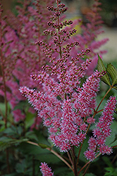 Maggie Daley Astilbe (Astilbe chinensis 'Maggie Daley') at Meadow Acres Garden Centre