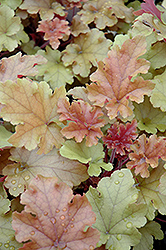 Marmalade Coral Bells (Heuchera 'Marmalade') at Meadow Acres Garden Centre