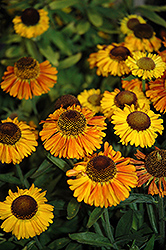 Short 'n' Sassy Sneezeweed (Helenium 'Short 'n' Sassy') at Meadow Acres Garden Centre