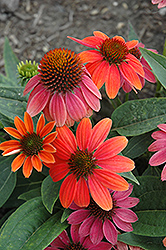 Sombrero® Hot Coral Coneflower (Echinacea 'Balsomcor') at Meadow Acres Garden Centre
