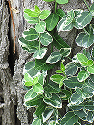 Emerald Gaiety Wintercreeper (Euonymus fortunei 'Emerald Gaiety') at Meadow Acres Garden Centre
