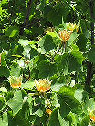 Tuliptree (Liriodendron tulipifera) at Meadow Acres Garden Centre