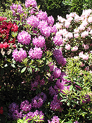Boursault Rhododendron (Rhododendron catawbiense 'Boursault') at Meadow Acres Garden Centre