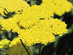 Moonshine Yarrow (Achillea 'Moonshine') at Meadow Acres Garden Centre