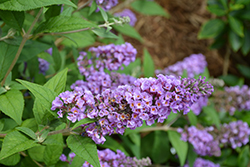 Lo And Behold® Blue Chip Dwarf Butterfly Bush (Buddleia 'Lo And Behold Blue Chip') at Meadow Acres Garden Centre
