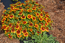 Mesa Bright Bicolor Blanket Flower (Gaillardia x grandiflora 'Mesa Bright Bicolor') at Meadow Acres Garden Centre