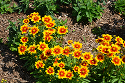 UpTick™ Gold and Bronze Tickseed (Coreopsis 'Baluptgonz') at Meadow Acres Garden Centre