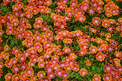 Fire Spinner Ice Plant (Delosperma 'Fire Spinner') at Meadow Acres Garden Centre