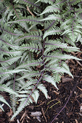 Godzilla Giant Japanese Painted Fern (Athyrium 'Godzilla') at Meadow Acres Garden Centre