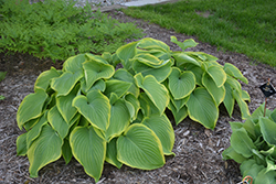 Victory Hosta (Hosta 'Victory') at Meadow Acres Garden Centre