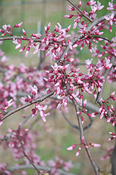 Cascading Hearts Redbud (Cercis canadensis 'Cascading Hearts') at Meadow Acres Garden Centre