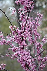 Forest Pansy Redbud (Cercis canadensis 'Forest Pansy') at Meadow Acres Garden Centre