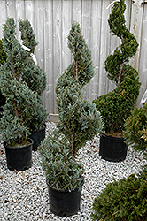 Wichita Blue Juniper (spiral) (Juniperus scopulorum 'Wichita Blue (spiral)') at Meadow Acres Garden Centre