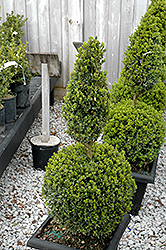 Green Mountain Boxwood (poodle form) (Buxus 'Green Mountain (poodle)') at Meadow Acres Garden Centre