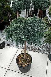 Blue Star Juniper (Juniperus squamata 'Blue Star (tree form)') at Meadow Acres Garden Centre