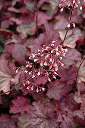 Berry Smoothie Coral Bells (Heuchera 'Berry Smoothie') at Meadow Acres Garden Centre