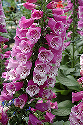 Dalmatian Purple Foxglove (Digitalis purpurea 'Dalmatian Purple') at Meadow Acres Garden Centre