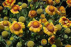 Arizona Apricot Blanket Flower (Gaillardia x grandiflora 'Arizona Apricot') at Meadow Acres Garden Centre