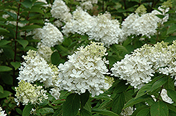 Fire And Ice Hydrangea (Hydrangea paniculata 'Wim's Red') at Meadow Acres Garden Centre