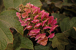 Ruby Slippers Hydrangea (Hydrangea quercifolia 'Ruby Slippers') at Meadow Acres Garden Centre