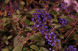 Lo And Behold® Blue Chip Junior Dwarf Butterfly Bush (Buddleia 'Lo And Behold Blue Chip Junior') at Meadow Acres Garden Centre
