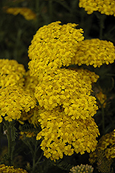 Desert Eve™ Yellow Yarrow (Achillea millefolium 'Desert Eve Yellow') at Meadow Acres Garden Centre