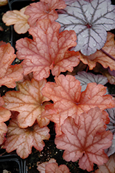 Paprika Coral Bells (Heuchera 'Paprika') at Meadow Acres Garden Centre