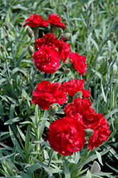 Early Bird™ Radiance Pinks (Dianthus 'Wp08 Mar05') at Meadow Acres Garden Centre