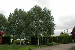 Whitebark Himalayan Birch (Betula utilis 'var. jacquemontii') at Meadow Acres Garden Centre