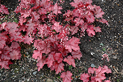 Fire Chief Coral Bells (Heuchera 'Fire Chief') at Meadow Acres Garden Centre