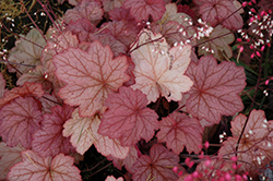 Georgia Peach Coral Bells (Heuchera 'Georgia Peach') at Meadow Acres Garden Centre