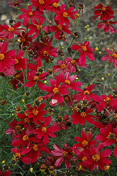 Red Satin Tickseed (Coreopsis 'Red Satin') at Meadow Acres Garden Centre