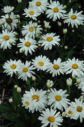 Whoops-A-Daisy Shasta Daisy (Leucanthemum x superbum 'Whoops-A-Daisy') at Meadow Acres Garden Centre