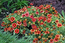 Arizona Red Shades Blanket Flower (Gaillardia x grandiflora 'Arizona Red Shades') at Meadow Acres Garden Centre