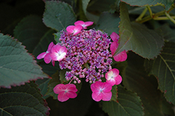 Tuff Stuff™ Hydrangea (Hydrangea serrata 'MAK20') at Meadow Acres Garden Centre