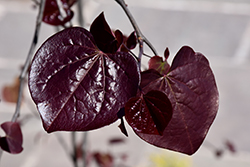 Ruby Falls Redbud (Cercis canadensis 'Ruby Falls') at Meadow Acres Garden Centre