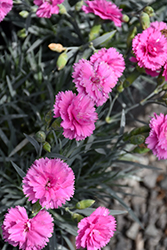 Scent First® Tickled Pink Pinks (Dianthus 'Devon PP11') at Meadow Acres Garden Centre