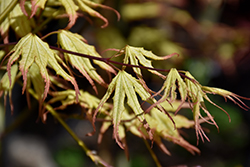 Peaches And Cream Japanese Maple (Acer palmatum 'Peaches And Cream') at Meadow Acres Garden Centre