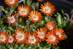 Jewel Of Desert Topaz Ice Plant (Delosperma 'Jewel Of Desert Topaz') at Meadow Acres Garden Centre