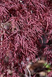 Red Filigree Lace Japanese Maple (Acer palmatum 'Red Filigree Lace') at Meadow Acres Garden Centre