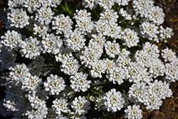 Whiteout Candytuft (Iberis sempervirens 'Whiteout') at Meadow Acres Garden Centre