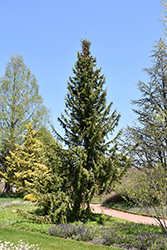 Serbian Spruce (Picea omorika) at Meadow Acres Garden Centre
