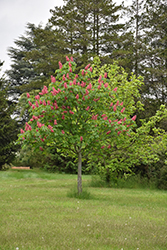 Fort McNair Red Horse Chestnut (Aesculus x carnea 'Fort McNair') at Meadow Acres Garden Centre