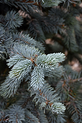 Hoopsii Blue Spruce (Picea pungens 'Hoopsii') at Meadow Acres Garden Centre