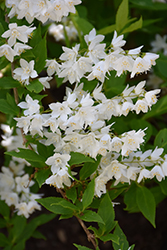 Chardonnay Pearls® Deutzia (Deutzia gracilis 'Duncan') at Meadow Acres Garden Centre