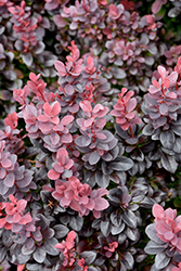 Concorde Japanese Barberry (Berberis thunbergii 'Concorde') at Meadow Acres Garden Centre
