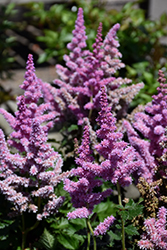 Little Vision In Purple Chinese Astilbe (Astilbe chinensis 'Little Vision In Purple') at Meadow Acres Garden Centre