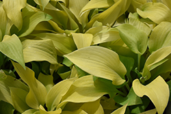 Prairie Moon Hosta (Hosta 'Prairie Moon') at Meadow Acres Garden Centre